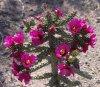 staghorn_blooms_lge.jpg