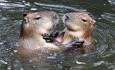 vp_capybara_shutterstock_461068126.jpg