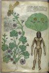 Mandrake Italian Herbal.jpg